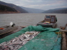 Crib fish to Tanana