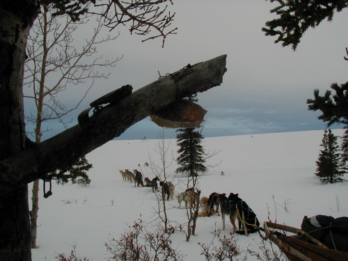 Marten trap and dogs